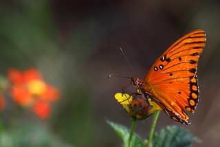 Butterfly and Bokeh