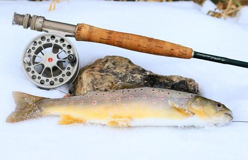 brown trout at Trout Run Creek near Decorah IA 854A3230