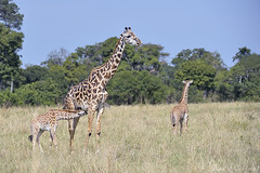Obligaciones de madre (David Perez Lopez) Tags: jirafamasai giraffacamelopardalistippelskirchi masaigiraffe kenia mara áfrica nikon d4s 200400vrii