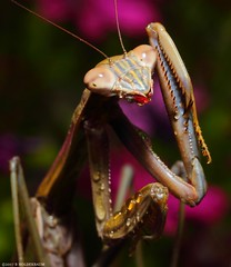 Mantis 3 (striving67) Tags: mantis mantid macro insects