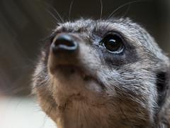 Watchkat (H.H. Mahal Alysheba) Tags: animal zoo closeup meerkat tokyo ueno lumix gx7 olympus mzuiko 40150mmf28