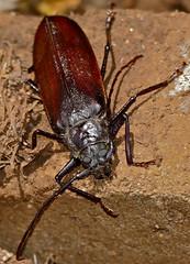 Longhorn Beetle (Macrotoma sp.) (berniedup) Tags: lowersabie kruger longhornbeetle macrotoma cerambycidae beetle taxonomy:genus=macrotoma prioninae