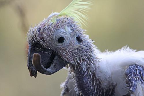 Ancient Cockatoo
