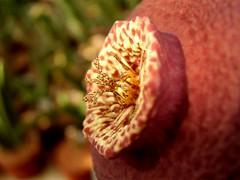 Orbelia flower detail (Skolnik Collection) Tags: orbelia succulent plant africa skolnik collection propagation fitotron fytotron macro photo digital camera benq asclepiadaceae asclepiad selected flower detail nature close stapeliad
