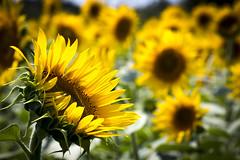 0114 (Shota Fukuda) Tags: summer japan sunflower