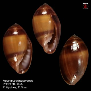 melampus sincaporensis1 philippines 11mm5