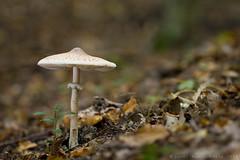 Macrolepiota mastoidea (shimie) Tags: color green nature mushroom grass forest canon eos moss extreme 100mm fungus jed l funghi slovakia usm poison wald grzyby mach hrib nahuby
