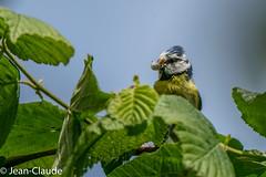 Parus caeruleus - Blue Tit (bollejeanclaude) Tags: nature birds photos vogels oiseaux zaventem insectivores 2015 mésanges nikoniste passeraux
