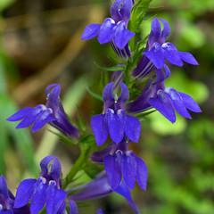 Lobelia siphilitica (Eric Hunt.) Tags: blue flower campanulaceae lobelia lobeliasiphilitica greatbluelobelia