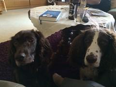 Cosette_369 (leeder-five) Tags: cosette rin pflegehund