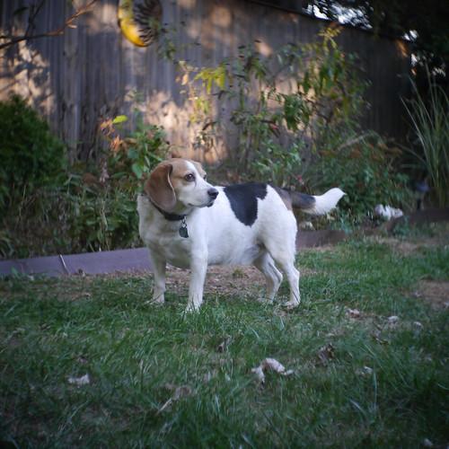 My Big Beagle