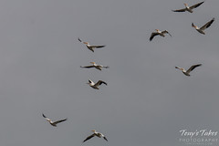Some of a large pod of American White Pelicans