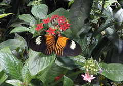 Doris Longwing butterfly (nbc_2011) Tags: butterfly insect animalplanet planetearth heliconian dorislongwing heliconiini dorislongwingbutterfly thedoris mexicotobolivia reddorislongwing
