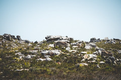 Cape Point Fynbos-3 (_futurelandscapes_) Tags: africa southafrica capetown unescoworldheritagesite capepoint fynbos westerncape capepeninsula grevyszebra