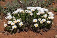 Monilaria sp. (chrysoleuca var. polita?)