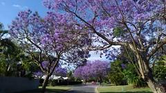 Purple Fantasy  (jlau_lau) Tags: trees light plant tree nature spring flora day purple blossom violet suburb jacaranda