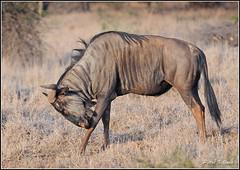 Wildebeest (Petri_) Tags: animal southafrica wildlife ungulate krugernationalpark herbivore satara bluewildebeest nikond300s nikonafvr80400ed