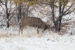 Mule Deer buck marks its territory