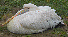 Beaky! ('cosmicgirl1960' NEW CANON CAMERA) Tags: pink white black green grass birds yellow grey zoo bill feathers pelican lancashire blackpool yabbadabbadoo
