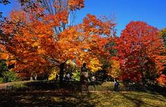 Fall Foliage (sinbadcc1) Tags: park nyc autumn centralpark manhattan fallfoliage 2015