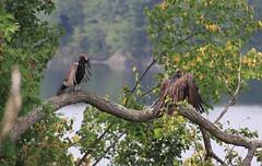Wing airing in harmony (SamSpade...) Tags: turkey wing redhead vultures mrmrs drying airing cathartesaura 573 6174 150908