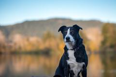 Bonny at Spring Lake 48/52/2016 (smile KB) Tags: dog lake reflection fall outside santarosa bonny springlake 52weeksfordogs