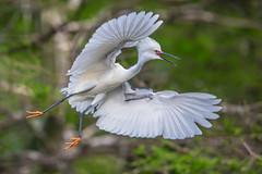 Snowy Egret Flying (Bill Varney) Tags: white green bird fly flying florida outdoor snowy flight wetlands cay egret wading bif billvarney