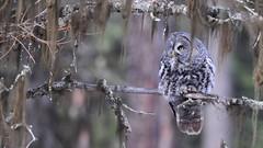 crouching gray, hidden vole (brodmann's 17) Tags: