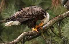 Sharpening the Weapons (ken.helal) Tags: 20141223eagles