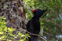 Carpintero negro hembra | Campephilus magellanicus | Magellanic woodpecker