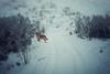 Fog over snow (Oksana Yefimenko) Tags: dog winter goldenretriever snow filed january nature outdoors landscape white canonefs1855 canon walk field