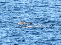 Bottlenosed Dolphins in Plattenberg Bay (benyeuda) Tags: gardenroute southafrica africa robberg robbergnaturereserve naturereserve plattenbergbay scenic coastal beautifulplace tursiopsaduncus bottlenoseddolphin bottlenosedolphin dolphin mammal mammalwatching wildlife marinelife dolphins