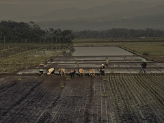 Teamwork farming (elly.sugab) Tags: paddy rice planting farming farmer sawah petani teamwork traditional