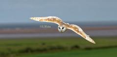 Barn owl in flight (ftm599) Tags: northumberland nikon wildlifephotography nature wildlife wings flying bif raptors birdsofprey birds bird owls owl barnowl