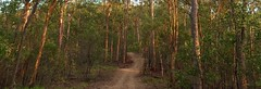 Morning light on the Lookout Trail (NettyA) Tags: appleiphone6 mtcoottha brisbane qld queensland australia panorama lookouttrail morning light trees forest bush bushwalk track path pano eucalypts