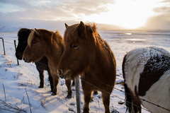Viking_Horse (6) (Melissa Boodoo) Tags: horse viking traveling travel iceland snow ice fire volcano explore create shoot2kill icelandtravel neverstopexploring nature animals animal fur sunny sun morning early roadtrip roadstop natural life europe winter north northernlights chasing