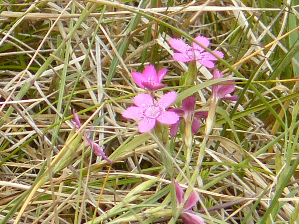 Dianthus deltoides- Heidenelke2