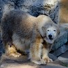 January 14: Zoo Polar Bear (earthdog) Tags: 2017 zoo bear polarbear sanfrancisco sanfranciscozoo project365 3652017 nikond5100 nikon d5100 18200mmf3563 animal liveanimal