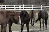 Horse, Danada Forest Preserve. 9 (EOS) (Mega-Magpie) Tags: canon eos 60d nature outdoors horse equine danada forest preserve wheaton dupage il illinois fence usa america