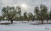 In assenza della frode della neve, possiamo ammirare gli scheletri sornioni degli alberi totalmente nudi, in attesa (lulo92) Tags: snow neve cold ice frozen ghiaccio winter inverno 2017 rare nevicata2017 salento puglia serrano olive ulivi tree trees sun light samyang nikon nikontop top