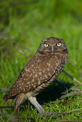 Burrowing Owl (Shijo and Pooja Photography) Tags: burrowingowl iflookscouldkill