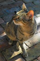 Key West (Florida) Trip 2016 0376Ri 4x6 (edgarandron - Busy!) Tags: cat cats kitty kitties cute feline coco tabby tabbies florida keys floridakeys keywest thebestofmimamorsgroups