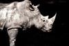 White rhinoceros portrait (Simmie | Reagor - Simmulated.com) Tags: 2016 animals ceratotheriumsimum connecticutphotography december florida jacksonvillezoo landscape landscapephotography nature naturephotography outdoors photography seascape unitedstates vacation whiterhinoceros zoo digital jacksonville