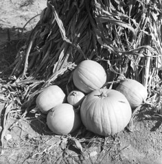 102659 07 (ndpa / s. lundeen, archivist) Tags: nick dewolf nickdewolf october bw blackwhite photographbynickdewolf 1959 1950s film 6x6 mediumformat monochrome blackandwhite mass massachusetts plymouth plimoth plantation plimothplantation museum livinghistorymuseum pumpkin pumpkins squash