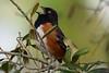 Sing like no one's listening (Jays and Jets) Tags: bird birds animal wild towhee fortpickens gulfislandsnationalseashore florida singing easterntowhee