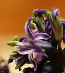 Macro fleurs de jacinthe (thierrymazel) Tags: macro fleur flower bokeh profondeur de champ jacinthe