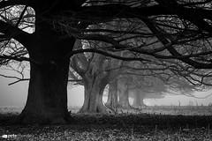 Under the Ceder (Pete Thornley) Tags: fog ceder blackwhite winter mist trees moody eerie