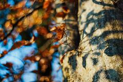 leave only leaves VII [explored] (culuthilwen) Tags: sonyalpha230 supertakumar takumar takumar35mmf2 takumar35mm 35mm f2 m42 bokeh leaves fall foliage autumn light dof orange vintagelens vscofilm vscofilm00 nature blurry