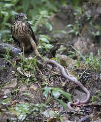Roadside Hawk (Rupornis magnirostris) - Tapiraí-SP