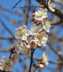 Japanese Flowering Apricot Blossoms (AngelVibePhotography) Tags: nikon blossom flower closeup blossoms northerncardinal nature springflowers photography flowers garden japanesefloweringapricot outdoor floweringapricot apricotblossoms bee pink nikonp900 depthoffield macro insects insect